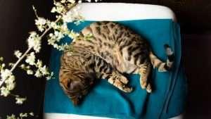 Todo lo que debes saber sobre el celo en los gatos: ¿Cuándo se ponen en celo? ¿Cuándo tienen el celo la primera vez? ¿Hay que castrar a los gatos macho?